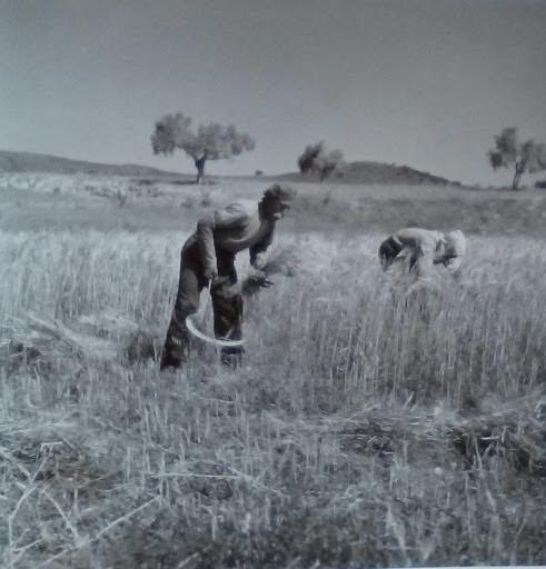 Θερισμός . Λειβαδιά, Αύγουστος 1946
