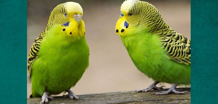 papagaloi