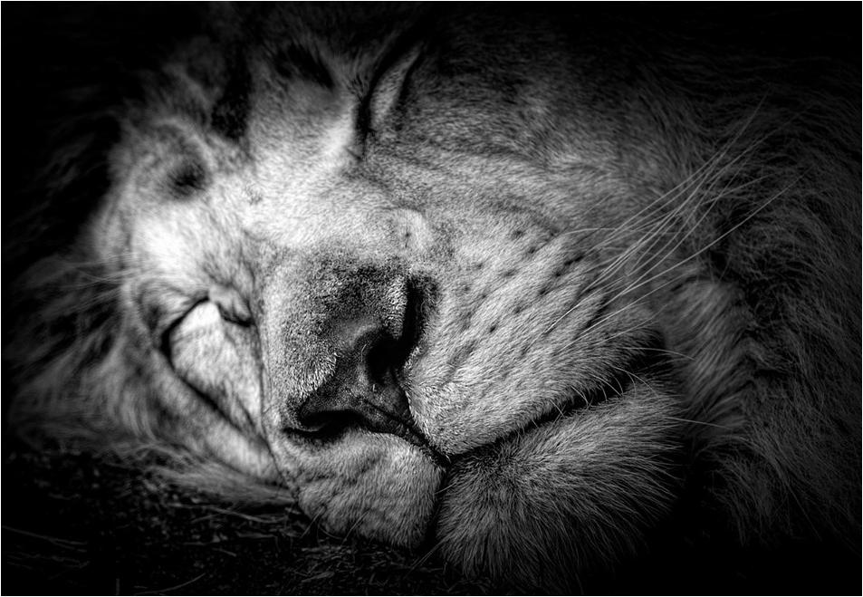 Κοιμάσαι λιοντάρι μου - Κι ο ένας θέλει να σε σκοτώσει, ο άλλος να σε βάλει στο τσίρκο, ένας τρίτος να σε βαλσαμώσει - Εγώ ψηφίζω αυτόν που θέλει να σε ξυπνήσει.