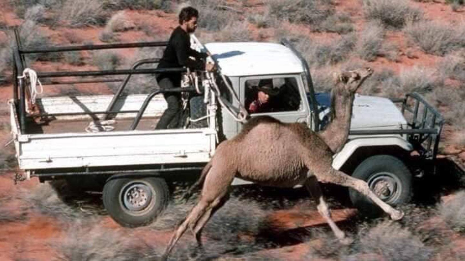 australia camels3