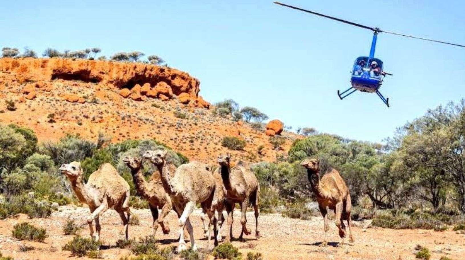 australia camels4