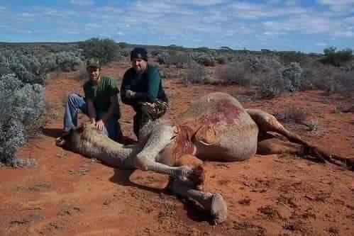 australia camels6
