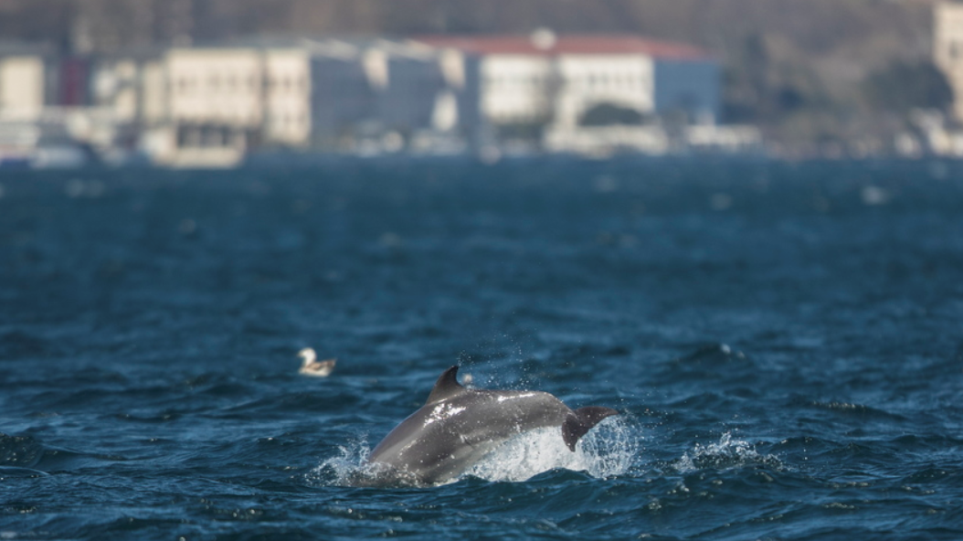 delfinia vosporos