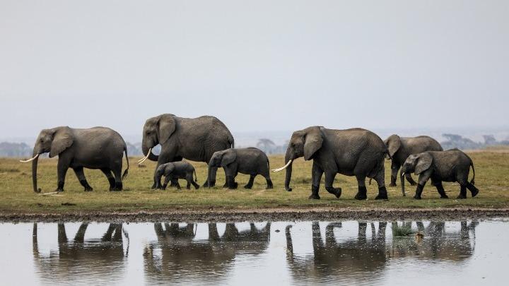 Υπερδιπλασιάστηκαν οι ελέφαντες στην Κένυα μέσα σε 30 χρόνια