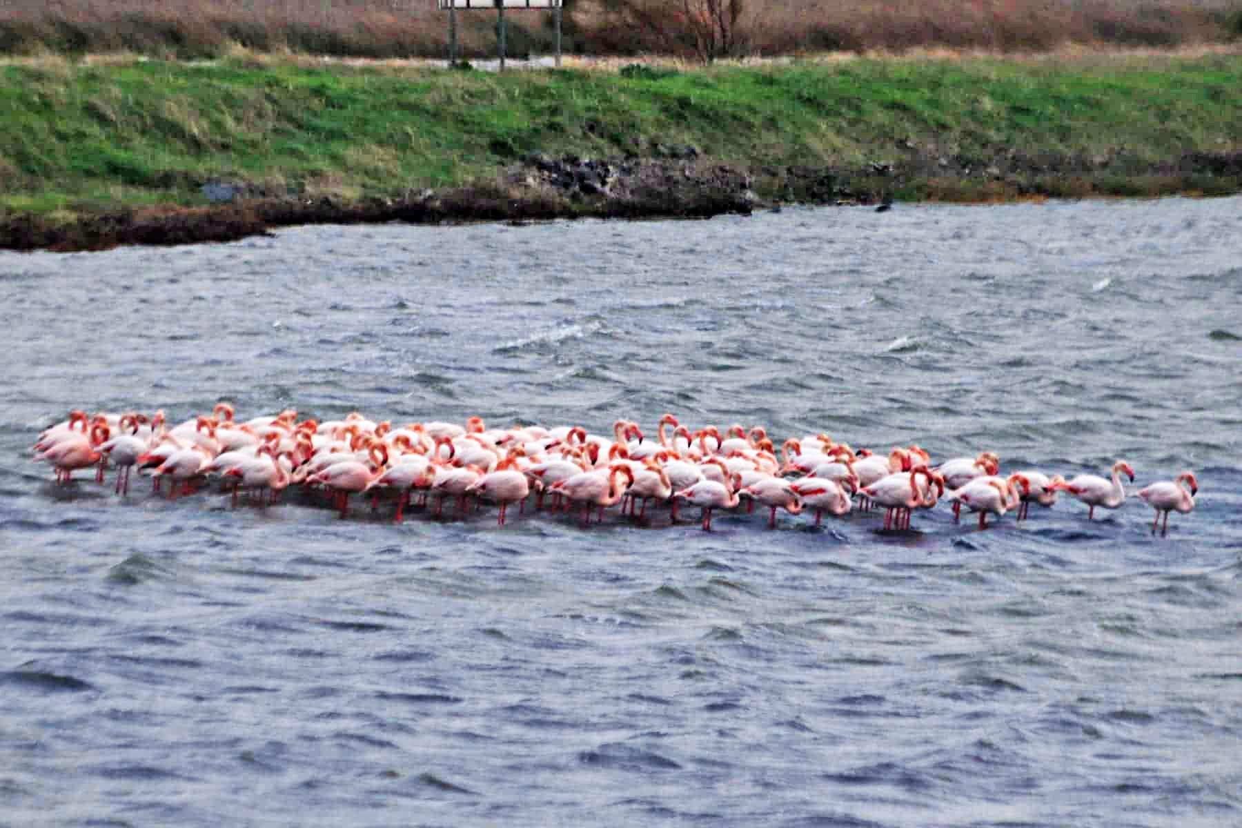 Flamingos Αλυκή Καλλονή Lesvos
