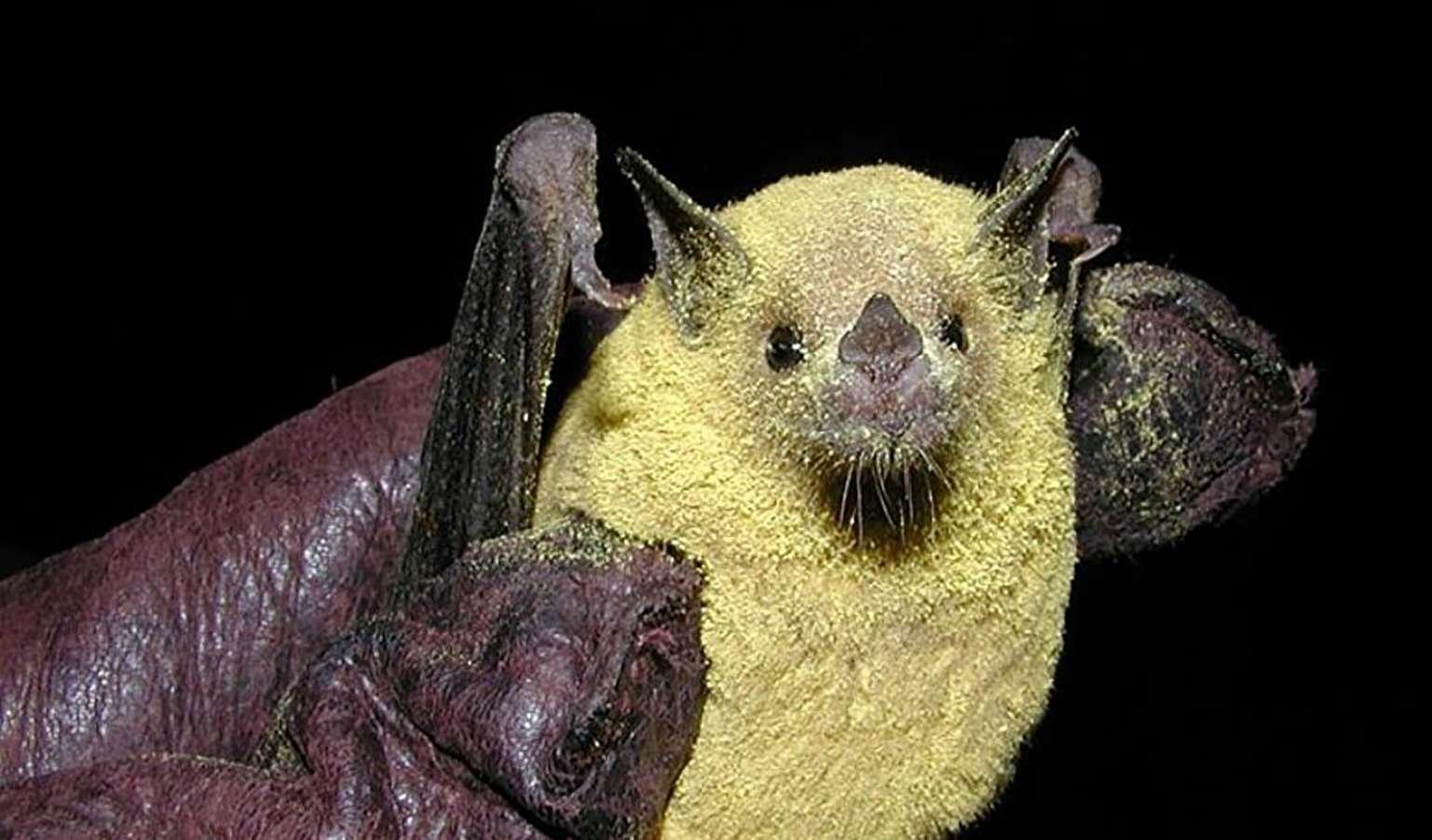 bat Covid
